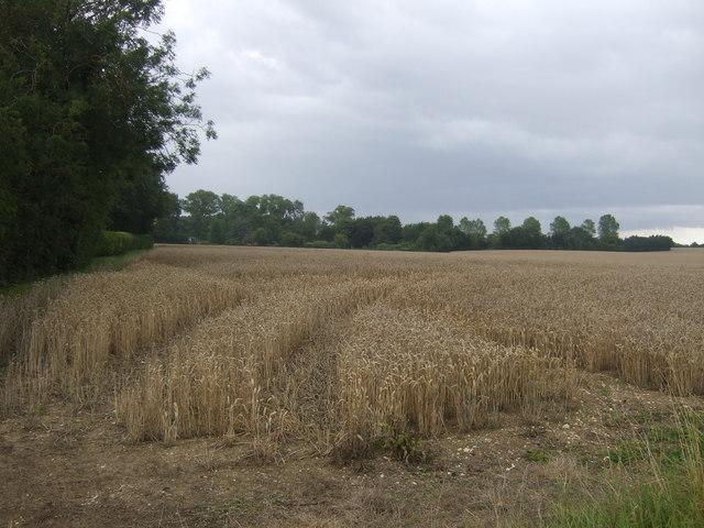 Cereal crop near Hill Farm