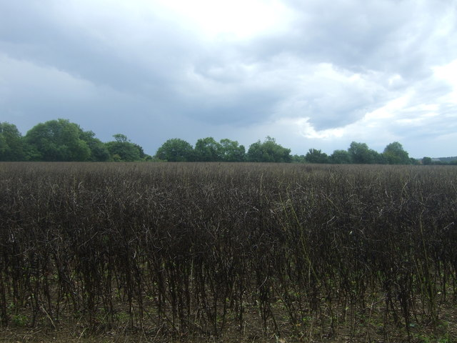 Crop field off Willingale Road