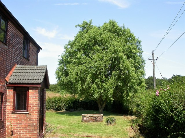 A fine example of the corkscrew willow at Park View