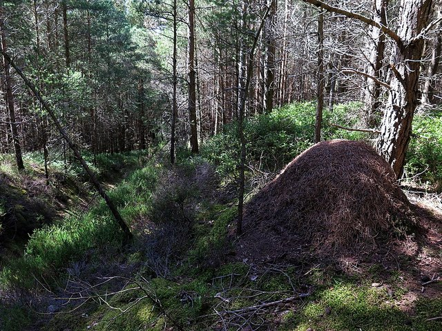 Wood ant nest, Dipton Wood