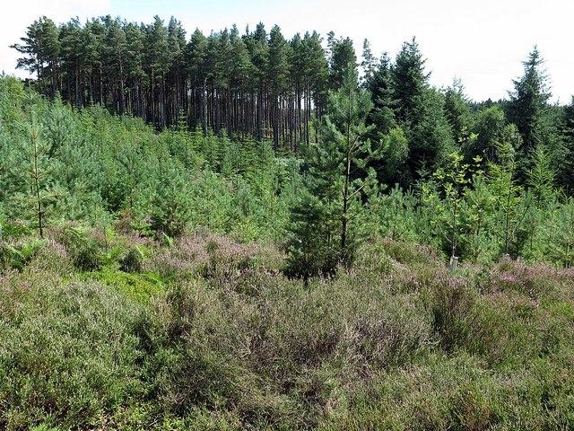 Dipton Wood