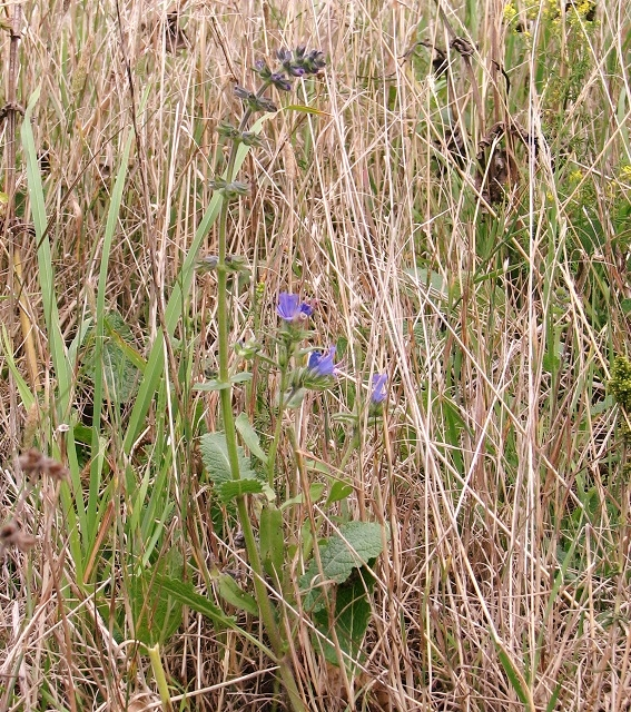 Meadow clary and Viper's bugloss