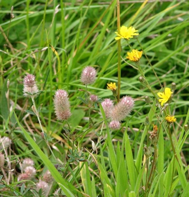 Hare's-foot clover  (Trifolium arvense)