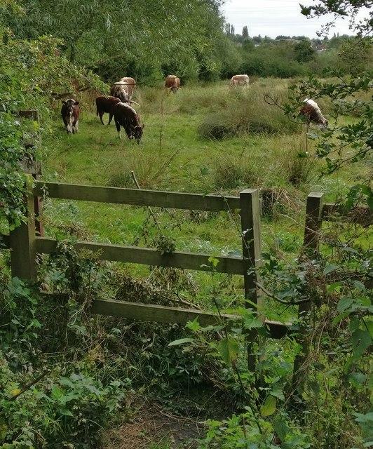 Longhorn cattle on the Spearwort Fields