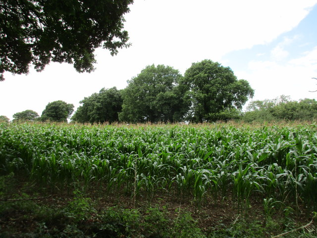 Field of maize near Brockwood