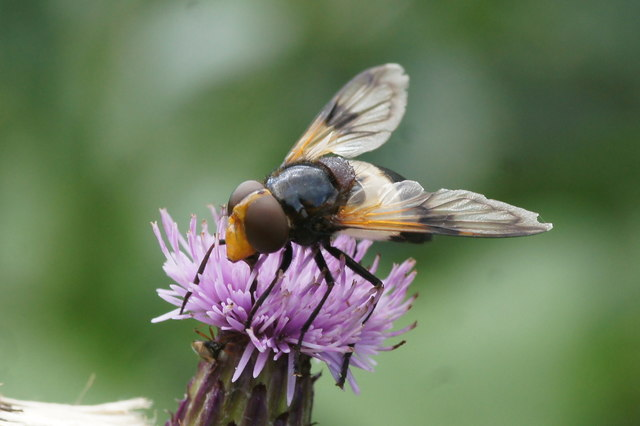 The hoverfly Volucella pellucens, East Links, Dunbar