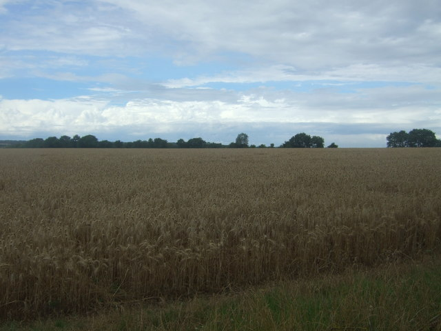 Cereal crop near Willingale