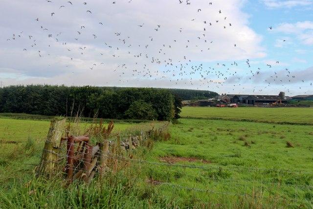 Gulls lift from fields at Braehead
