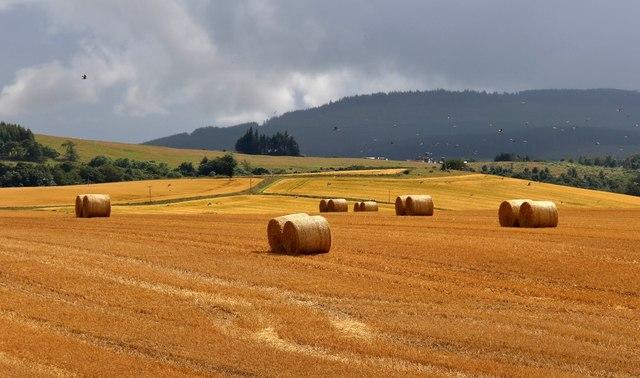 Golden harvest at Little Sauchen