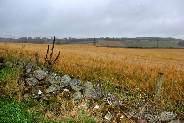 Ripening grain at Beidleston