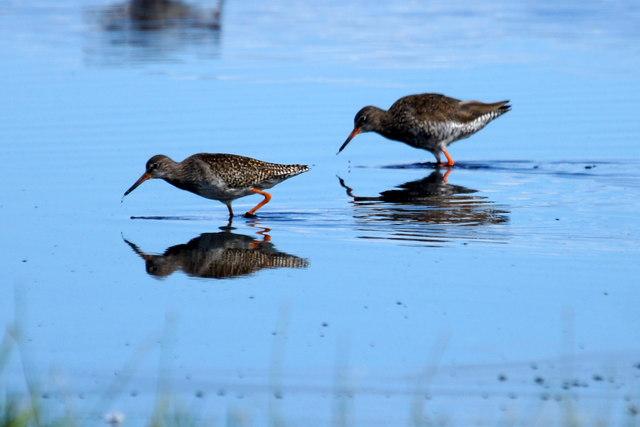 Common Redshanks (Tringa totanus), Musselburgh Lagoons