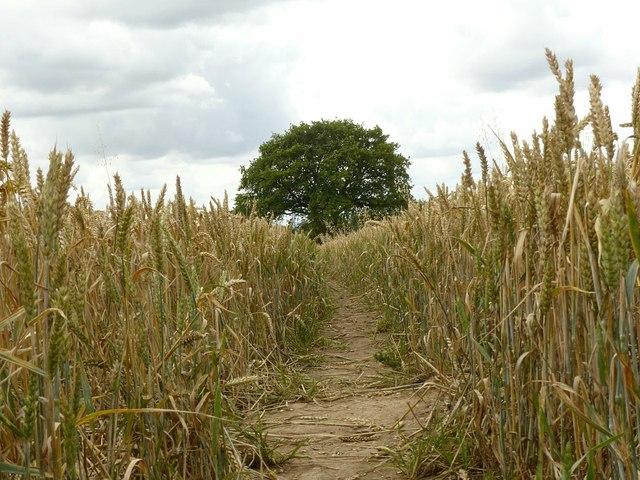 Footpath through the corn