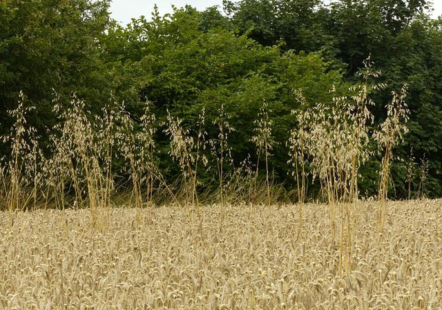 Where the wild oats are sown