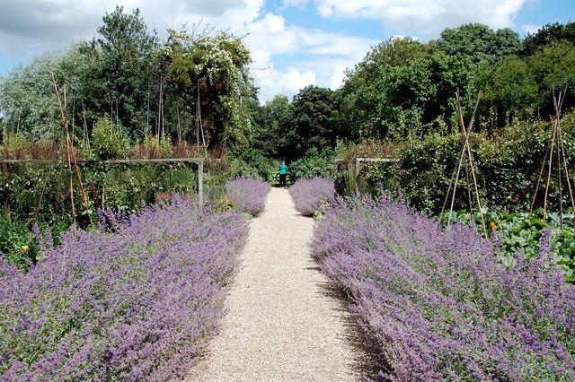 Tintinhull Garden: the lavender walk