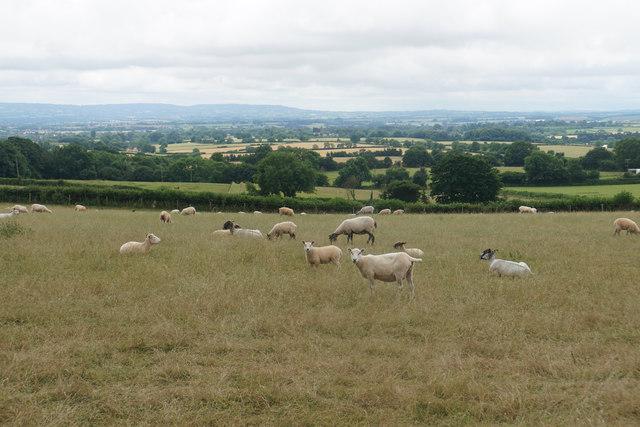 Sheep below West Bagborough