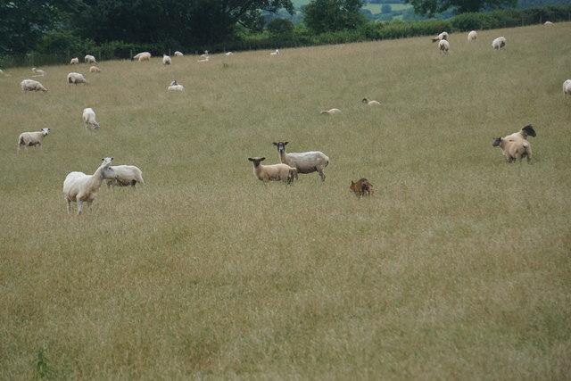 Interloper in a field of sheep