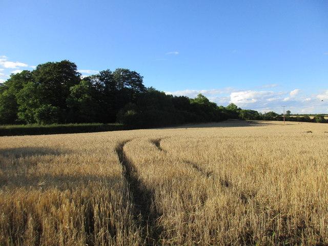 Wheatfield by the Fosse Way