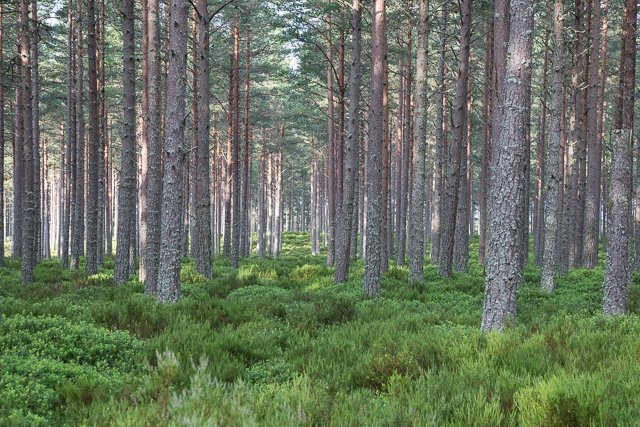Trees in Glenmore Forest