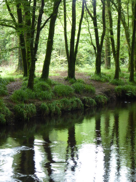 Beech trees beside the River Camel at Heligan Wood