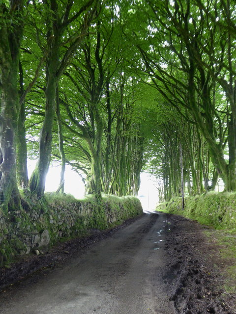 Avenue of beech trees at Carbaglet