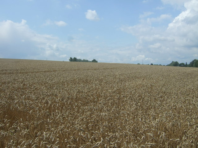 Cereal crop near Shingle Hall