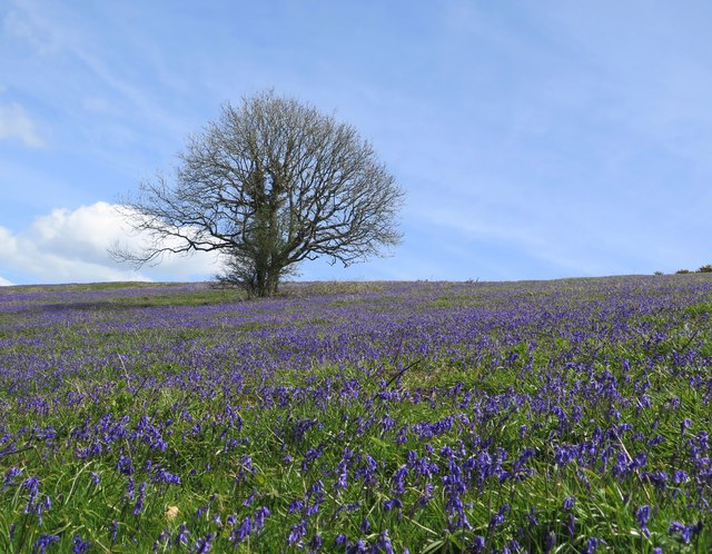 Bluebells, Wroxall Down, Isle of Wight