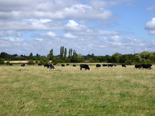 Cattle, Bluehouse Farm