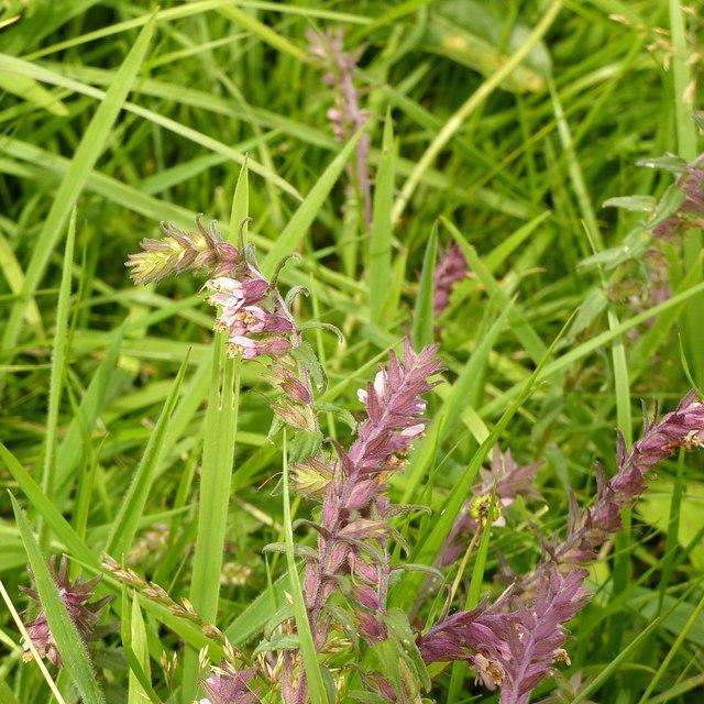 Meadow flower, Dale Abbey