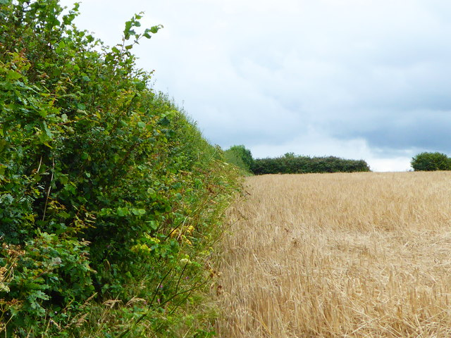 Hedge at the edge of a field of barley near Helland