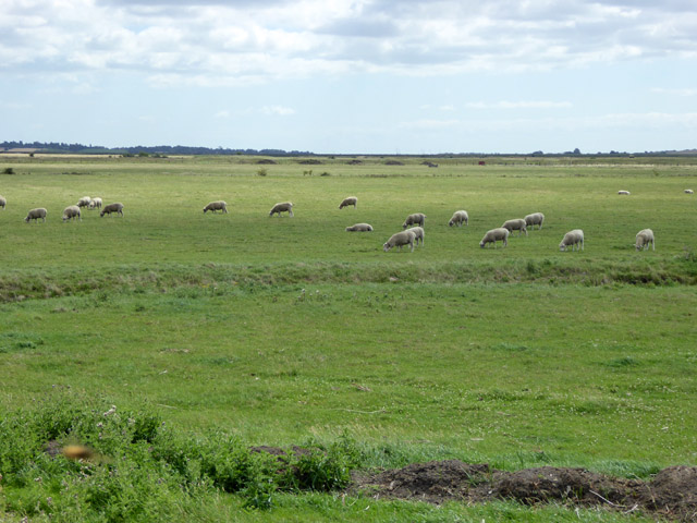 Sheep, Bluehouse Farm Nature Reserve