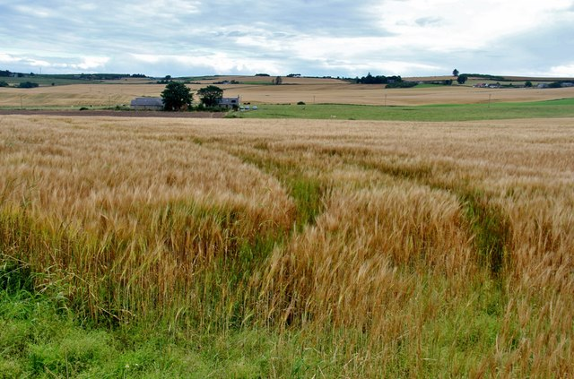 Ripening grain at Northbog