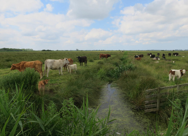 Cows on Upton Marshes