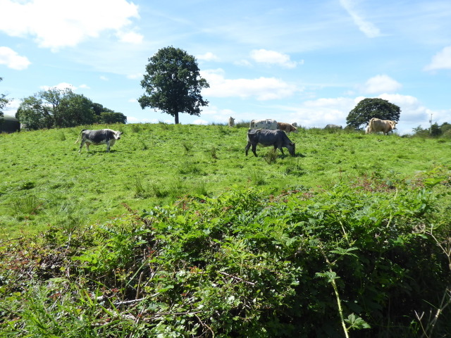 Cows, Tattyreagh Glebe