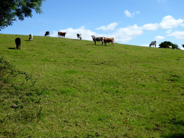 Cows on a hill, Tattyreagh