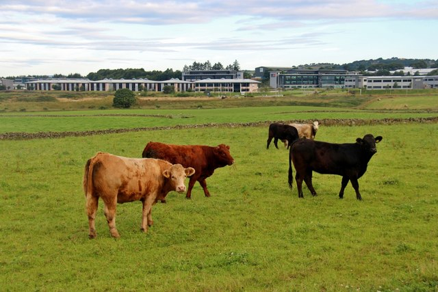 Cattle at Cadgerford
