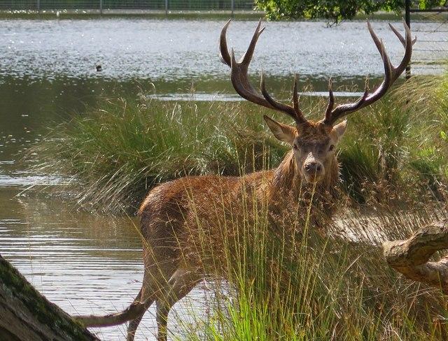 Stag at Pen Ponds, Richmond Park