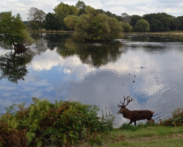 Stag cooling off in Pen Ponds, Richmond Park