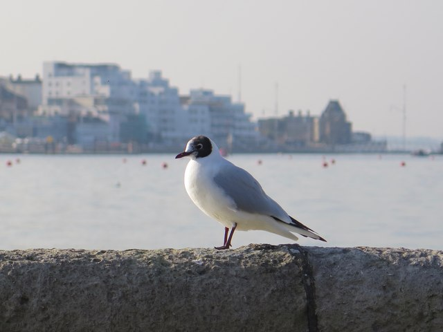Black-headed Gull, East Cowes Esplanade