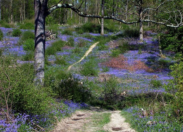 A bluebell path in Coneyburrow Wood