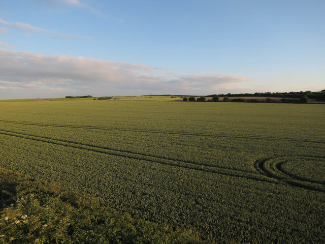 Wheat field by Great Chesterford station