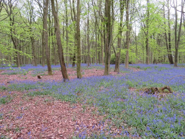 Bluebell season - South Wood