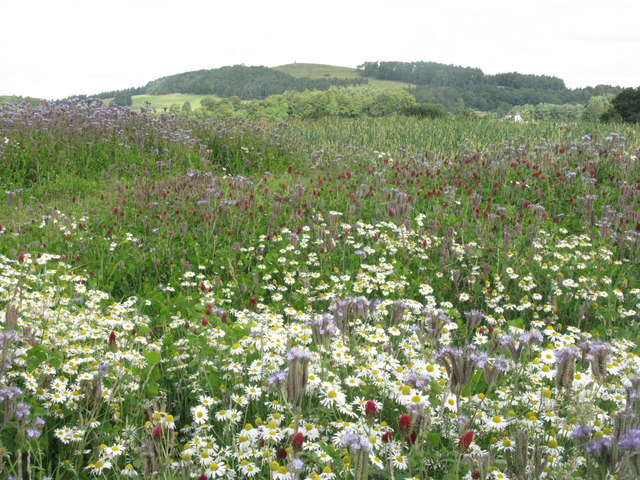 Leek field at Craigrothie