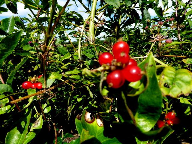 Honeysuckle berries, Tirnaskea
