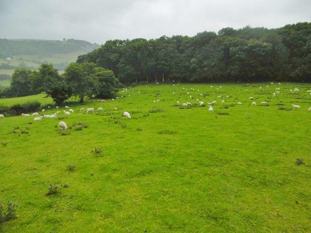 Llwynmawr, sheep grazing