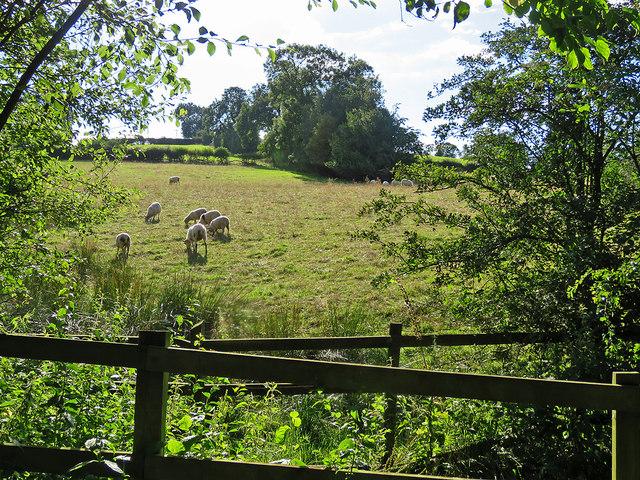 Sunlit sheep near Carsington Water