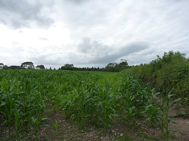 Field of maize on Harcombe Hill