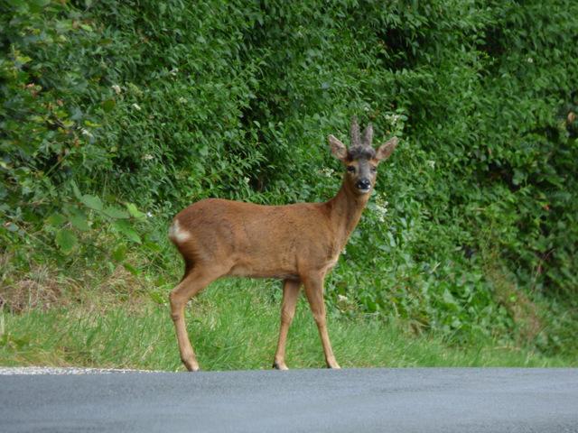 Deer on Eglinton Gardens