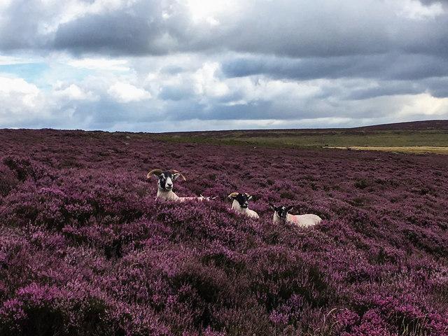 Sheep among the heather