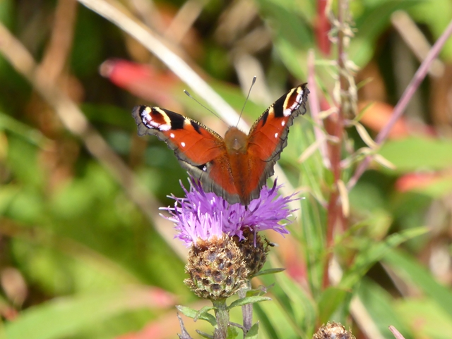 Peacock butterfly on a Knapweed flower