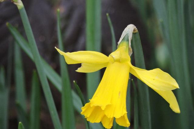 Narcissus pseudonarcissus in Sheringham Park